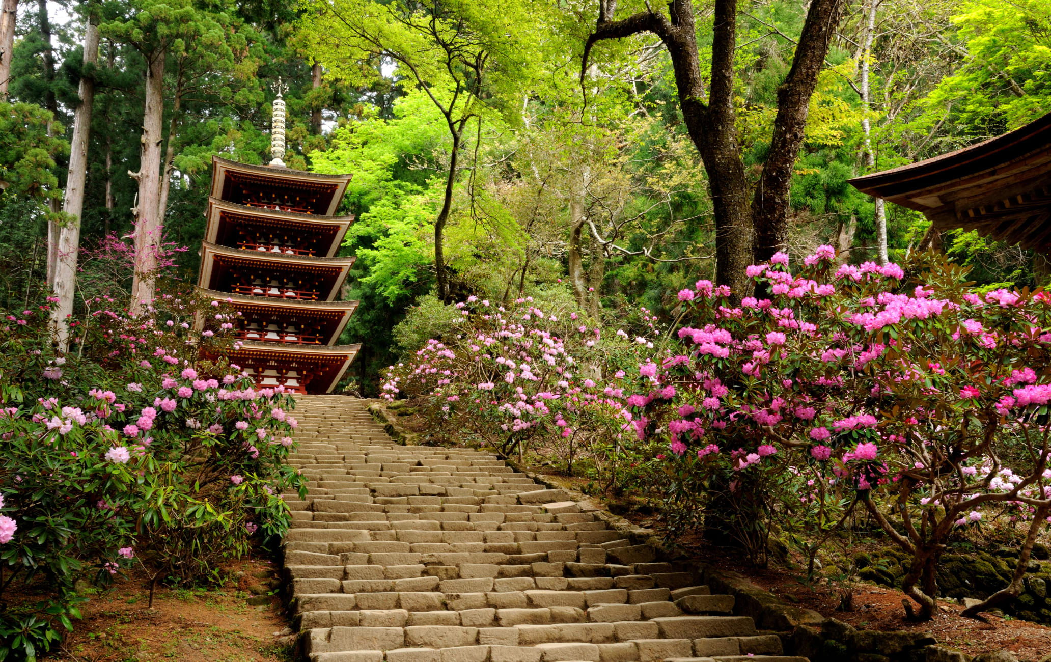 Shakunage Rhododendron of Muro-ji