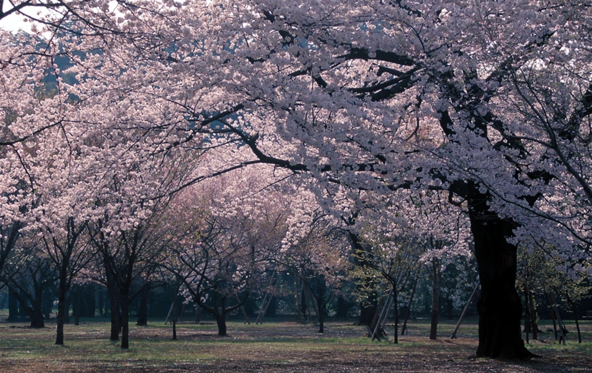 Sakura of Shinjuku Gyoen Garden-SPR