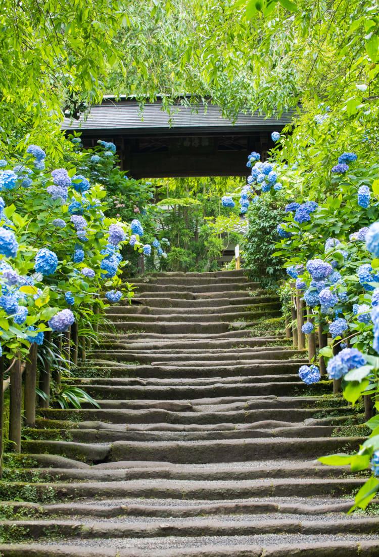 Meigetsu-in Ajisai Temple
