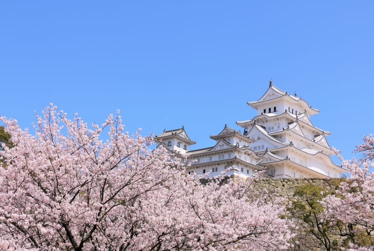 Himeji castle cherry blossom