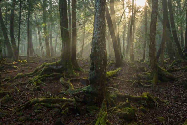 Aokigahara Jukai Forest
