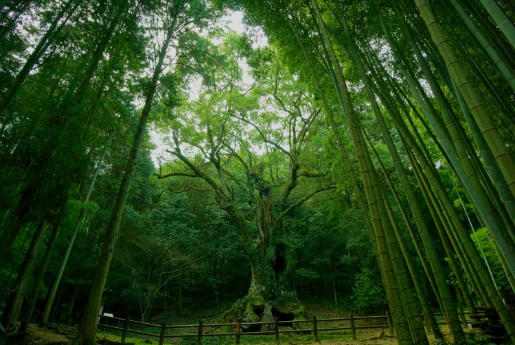 Giant camphor tree of Takeo