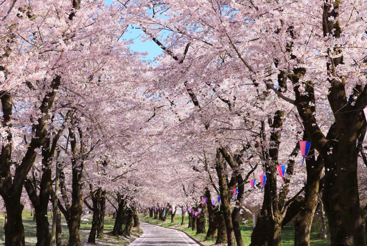 Akagi Cherry Blossom Festival