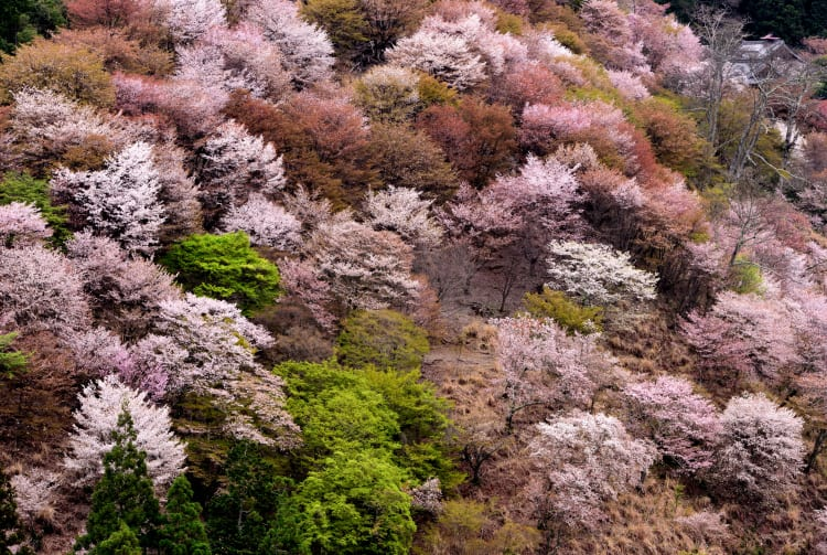Cherry blossom of Yoshino Mountain-SPR