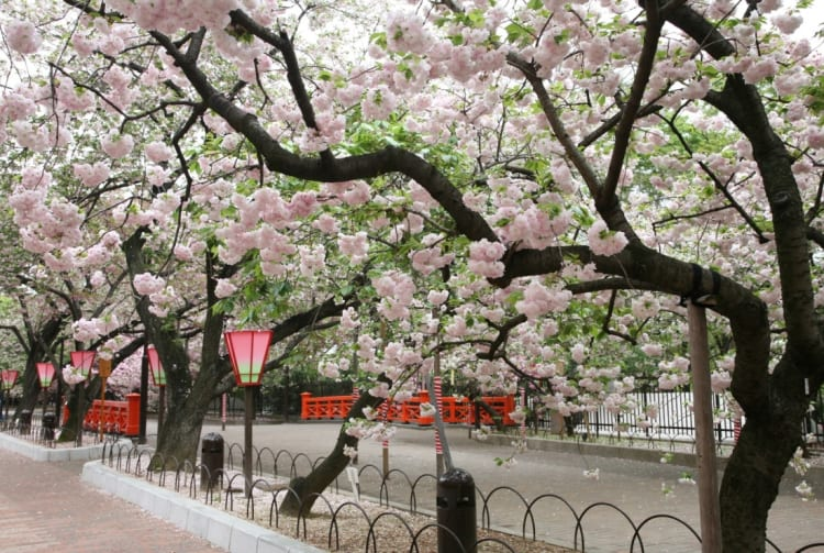 Mint Museum-cherry blossom