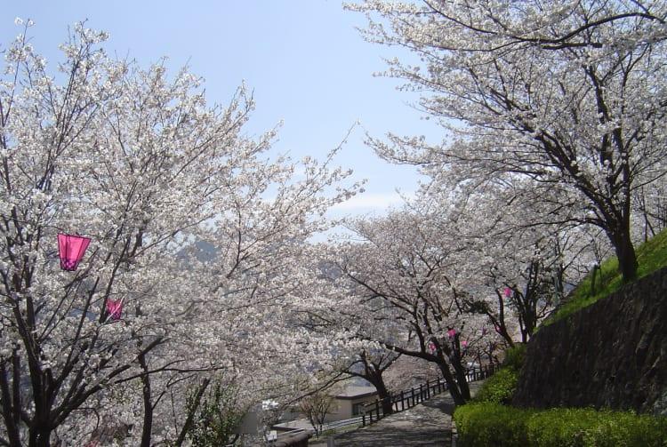 Tateyama Park-cherry blossom