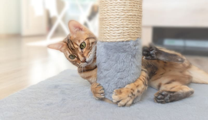Bengal cat hugs a scratching post in a bright room