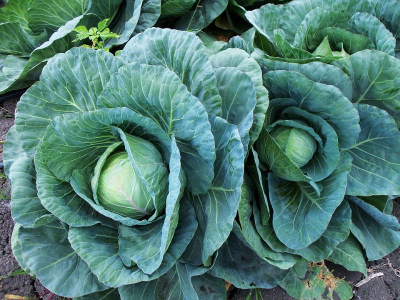 How Long Does Cabbage Last?