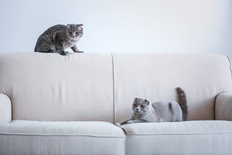 two gray cats on white couch looking playful