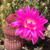 cactus flower on the grounds -POSH Palm Springs Inn boutique bed & breakfast