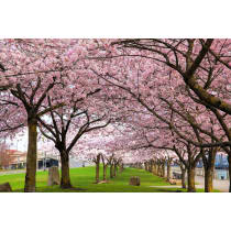 Painel Fotográfico Paisagem Cerejeiras Origini
