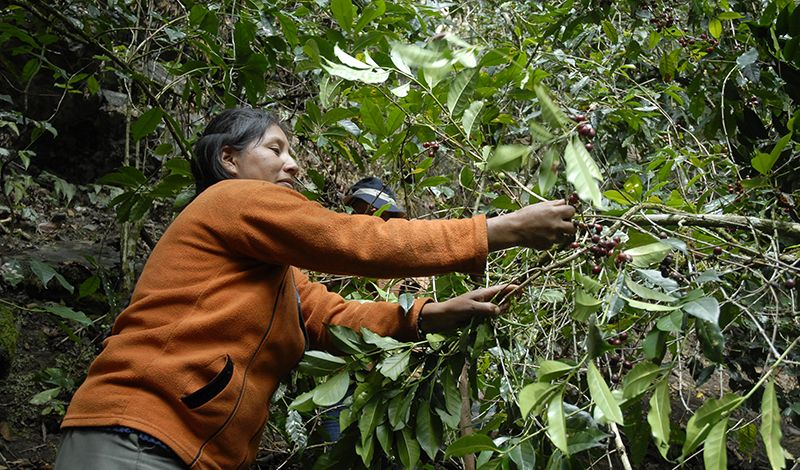 Cocla Tours: Cusco Coffee Tour: Uncover Coffee Cultivation from Bean to Brew