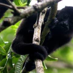 Costa Rica wildlife monkeys