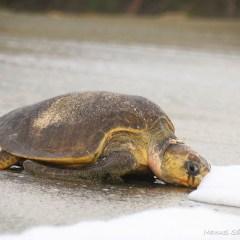 Costa Rica sea turtles