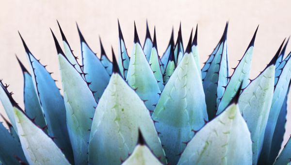 True or False: Agave's the Healthiest Sweetener Out There
