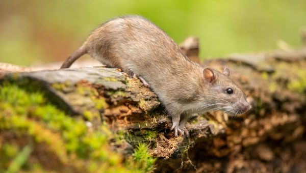 Hawaii Health Alert: 3 Gross Diseases You Can Catch From Rats