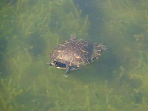 Turtle along the Creole Nature Trail