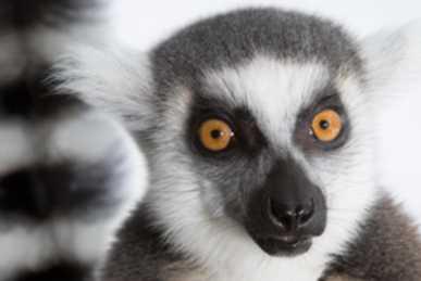 Lemur Ringtails
