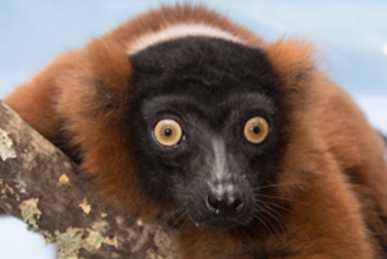 Red Lemurs