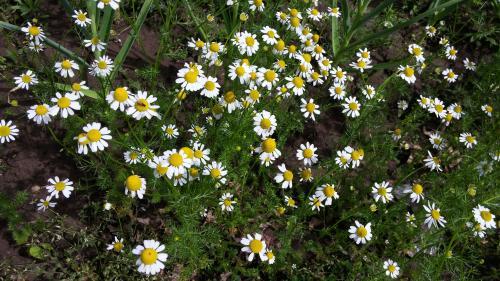 Backyard Tea Garden - Chamomile