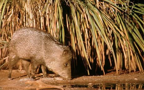 Javelina Cacti & Critters