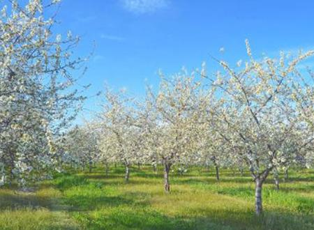 Blossoms on Old Mission Peninsula