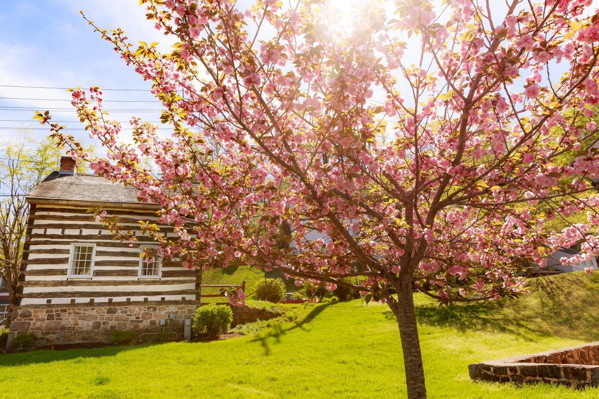 Cherry Blossoms in Ellicott City