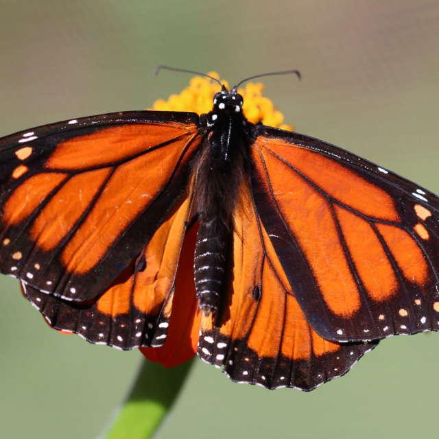 Monarch - Hop 'n Blueberry Farm