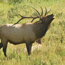 "Elk Bugling During the Annual ""Rut,"" Mid- September to Mid- October"