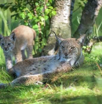 Lynx with baby lynx
