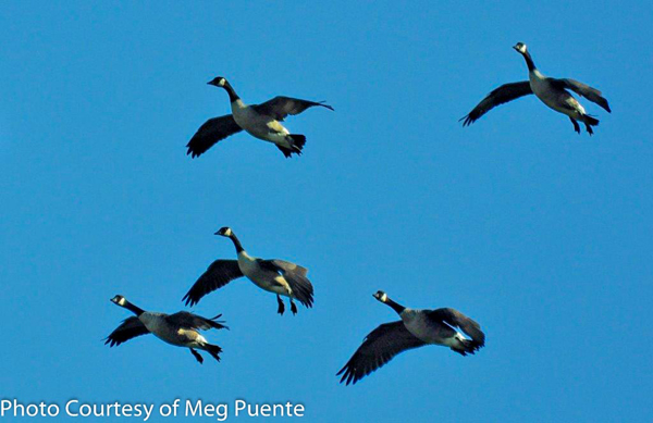 Birding in the Finger Lakes - Canada Geese