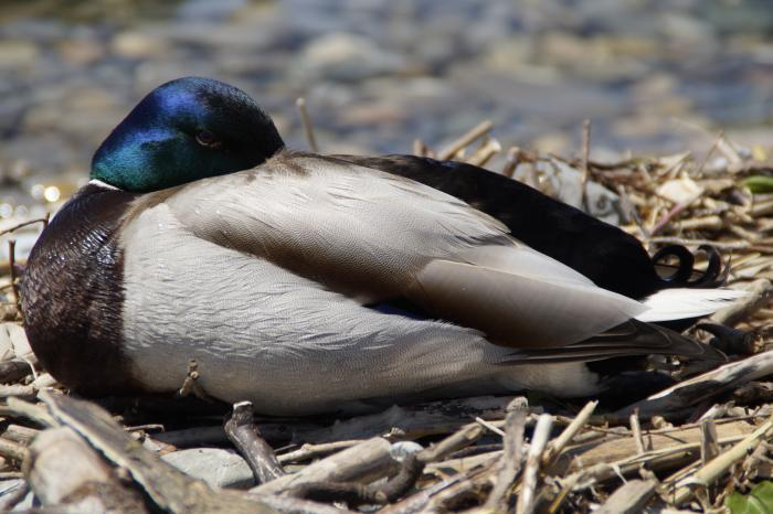 A sleeping Mallard drake ... with one eye keeping watch for predators. Picture: Pixabay
