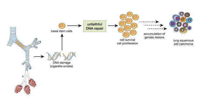 Diagram of erroneous DNA repair by lung basal stem cells. Picture: Walter and Eliza Hall Institute of Medical Research.
