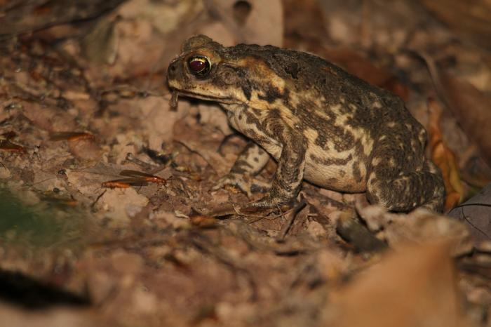 The cane toad was introduced in 1935 in Queensland but can now be found extensively across northern Australia. Photo: Pixabay