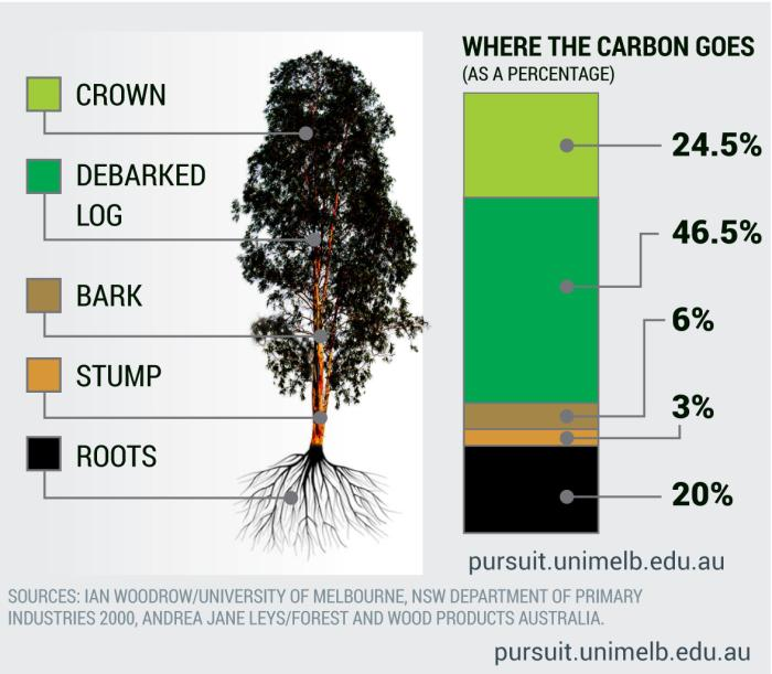 How a eucalypt stores carbon. Research: Hugh McMaster. Graphic: Frank Maiorana