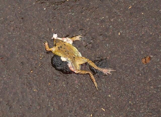 The unfortunate fate of many frogs who brave road crossings. Picture: Derek Harper, Geograph Project
