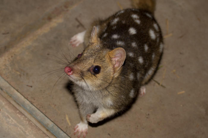Some populations of northern quoll have adapted to avoid cane toads. Picture: Andrew Weeks.
