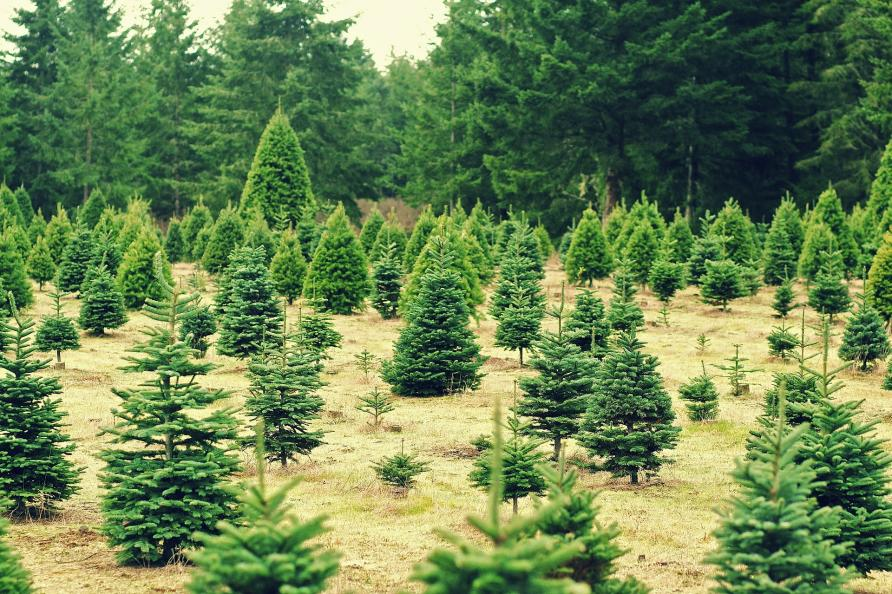 Going green: Are fake Christmas trees more eco-friendly than