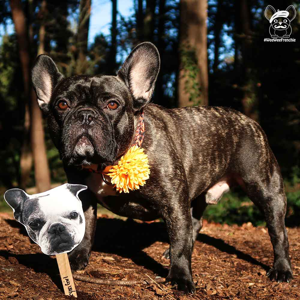 Giving Tuesday Featuring Leyna's Legacy and French Bulldog Rescue Network